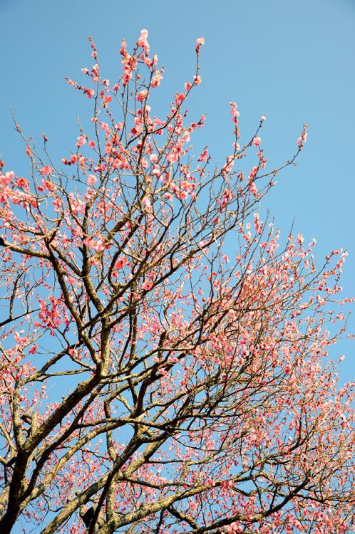 2011年2月24日偕楽園の梅だより02