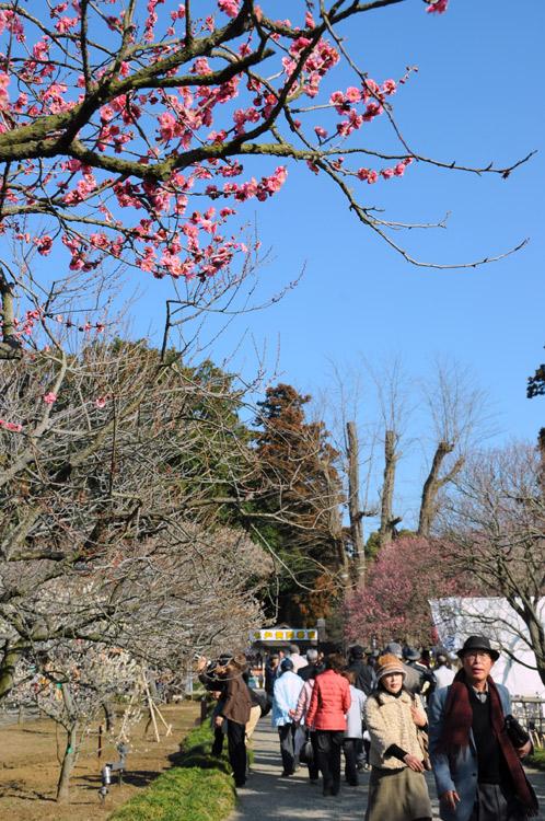 2011年2月24日偕楽園の梅だより04