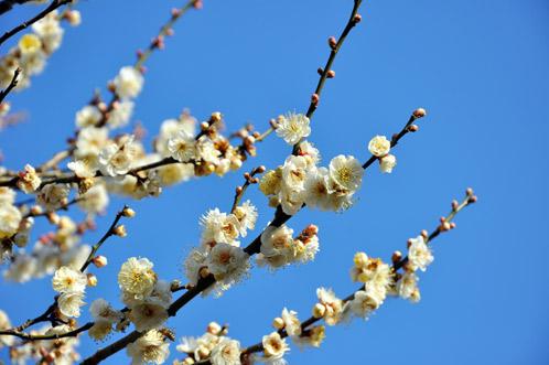 2011年2月24日偕楽園の梅だより10