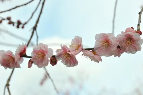 2011年3月偕楽園の六銘木をレポート17