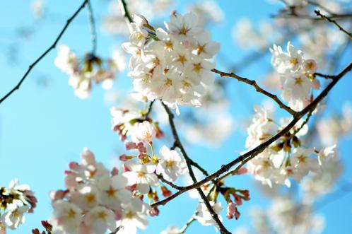 2011年水戸の桜01