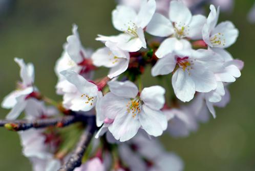 2011年水戸の桜03