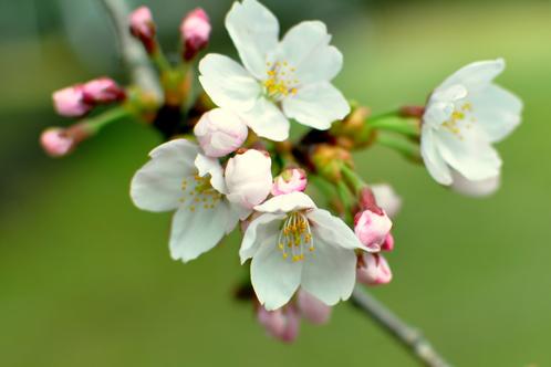 2011年水戸の桜04