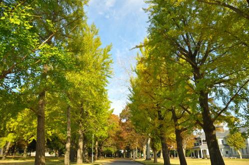 茨城県立歴史館のイチョウ
