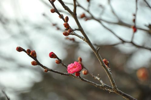 偕楽園2012年2月8日09