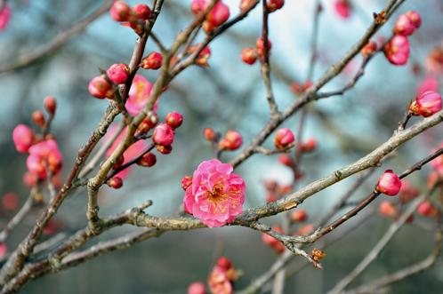 2012年2月22日偕楽園梅便り06