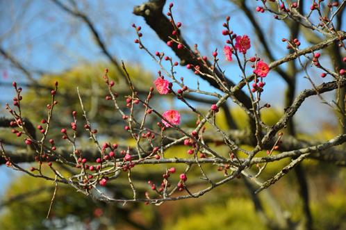 2012年2月22日偕楽園梅便り12