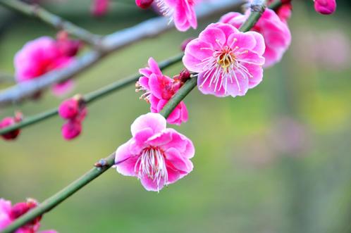 2012年3月27日の偕楽園・梅は8分咲きでほぼ満開02