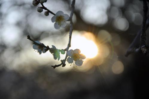 2012年3月27日の偕楽園・梅は8分咲きでほぼ満開03