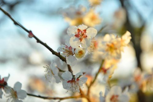 2012年3月27日の偕楽園・梅は8分咲きでほぼ満開04