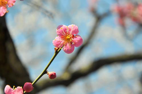 2012年3月27日の偕楽園・梅は8分咲きでほぼ満開05