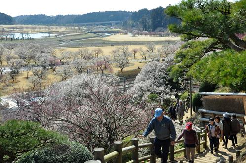 2012年3月27日の偕楽園・梅は8分咲きでほぼ満開06