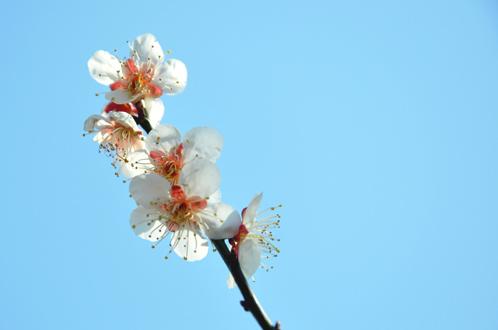 2012年3月27日偕楽園の梅