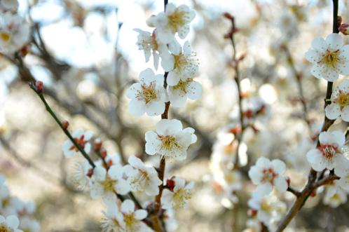 2012年3月27日の偕楽園・梅は8分咲きでほぼ満開07