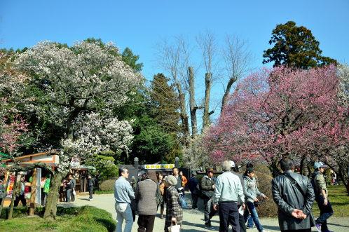 2012年3月27日の偕楽園・梅は8分咲きでほぼ満開10