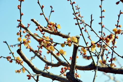 2012年3月27日の偕楽園・梅は8分咲きでほぼ満開11