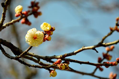 2012年2月27日の偕楽園梅レポート08