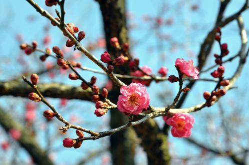 2012年2月27日の偕楽園梅レポート09