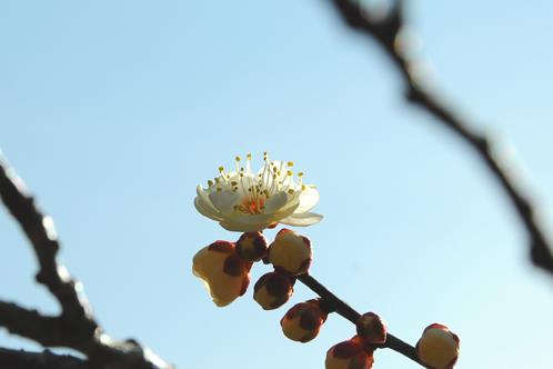 2012年2月27日の偕楽園梅レポート10