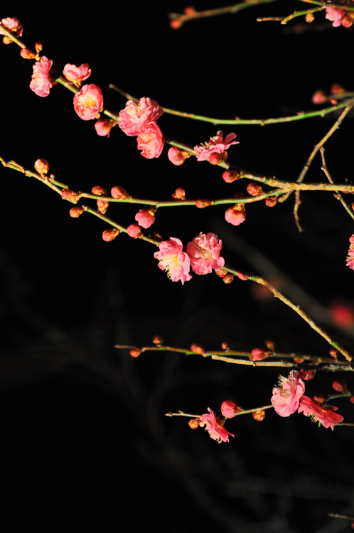 夜の偕楽園・夜梅祭2012-15