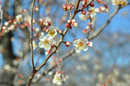 2012年(平成24年)3月14日の偕楽園・梅の開花状況03