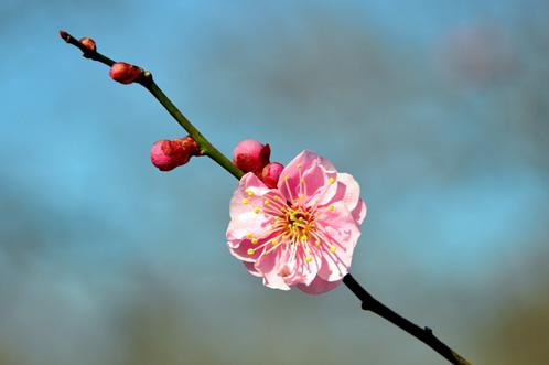 2012年(平成24年)3月14日の偕楽園・梅の開花状況07