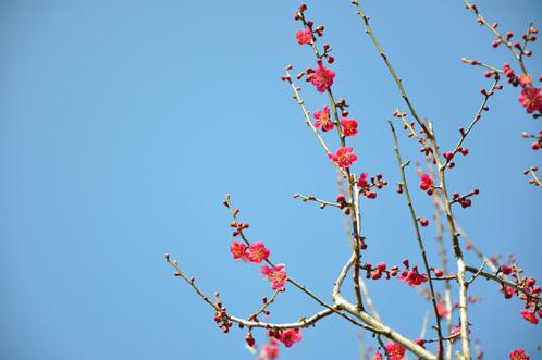 2012年(平成24年)3月14日の偕楽園・梅の開花状況08
