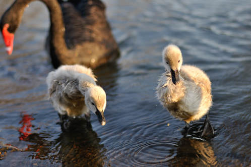 千波湖の黒鳥雛01