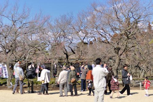 水戸市偕楽園梅まつり2013始まる07