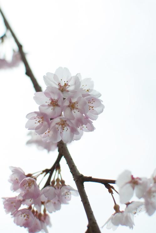 水戸市本行寺の枝垂れ桜01