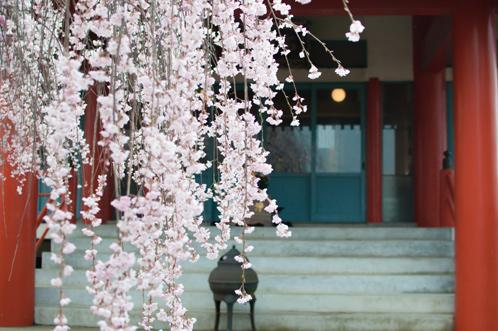 水戸市本行寺の枝垂れ桜02