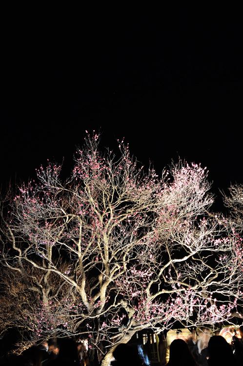 夜梅祭2013水戸偕楽園03