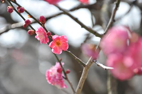 2013年3月8日水戸市偕楽園の梅は3割が開花01