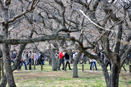 2013年3月8日水戸市偕楽園の梅は3割が開花02