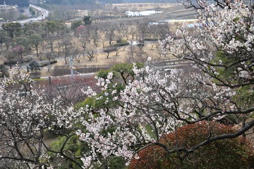 2013年3月8日水戸市偕楽園の梅は3割が開花04