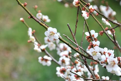 2013年3月8日水戸市偕楽園の梅は3割が開花05
