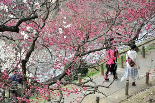 2013年3月8日水戸市偕楽園の梅は3割が開花06