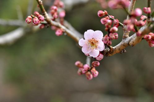2013年3月8日水戸市偕楽園の梅は3割が開花07