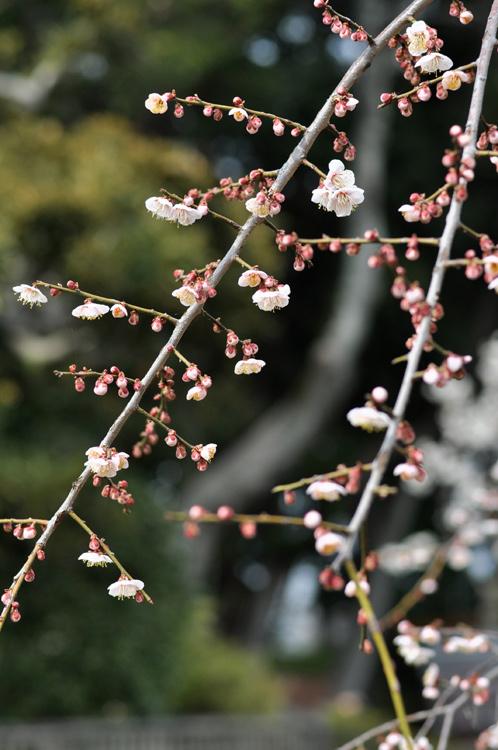 2013年3月8日水戸市偕楽園の梅は3割が開花08