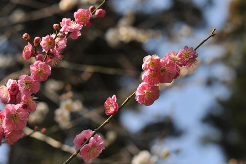 2013年偕楽園の梅
